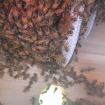 The bees are very hard at work building up their comb.